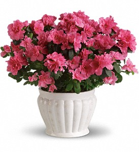 Pretty in Pink Azalea in Crawfordsville IN, Milligan's Flowers & Gifts