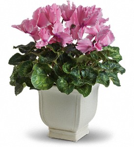 Sunny Cyclamen in College Station TX, Postoak Florist