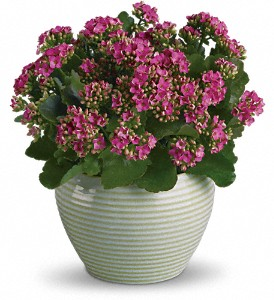 Bountiful Kalanchoe in Innisfail AB, Lilac & Lace Floral Design