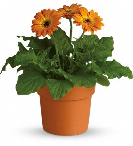 Rainbow Rays Potted Gerbera - Orange in Grand Prairie TX, Deb's Flowers, Baskets & Stuff