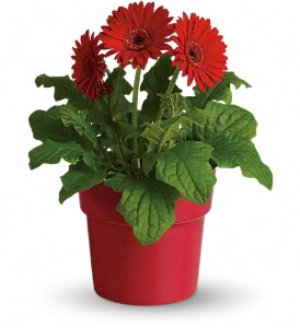 Rainbow Rays Potted Gerbera - Red in North Manchester IN, Cottage Creations Florist & Gift Shop