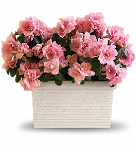 Sweet Azalea Delight in North Manchester IN, Cottage Creations Florist & Gift Shop