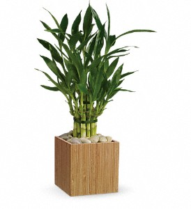 Teleflora's Good Luck Bamboo in Austintown OH, Crystal Vase Florist