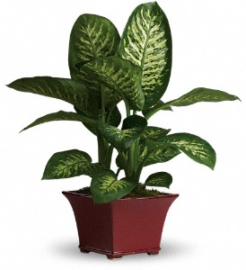 Delightful Dieffenbachia in McHenry IL, Locker's Flowers, Greenhouse & Gifts
