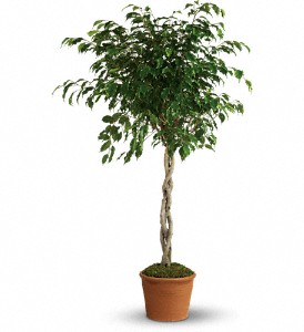 Towering Ficus in Sundridge ON, Anderson Flowers & Giftware