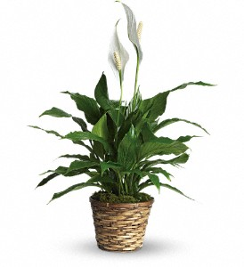Simply Elegant Spathiphyllum - Small in Richland WA, Buds...and Blossoms,Too