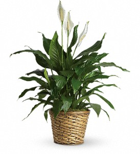 Simply Elegant Spathiphyllum - Medium in Marshall MI, Rose Florist & Wine Room