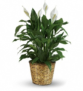 Simply Elegant Spathiphyllum - Large in Marshall MI, Rose Florist & Wine Room