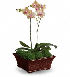 Divine Orchid in Amherst & Buffalo NY, Plant Place & Flower Basket