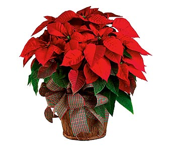 Timeless Poinsettia in Springfield MO, House of Flowers Inc.