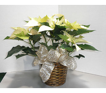 White Poinsettia in Oklahoma City OK, New Leaf Floral Inc