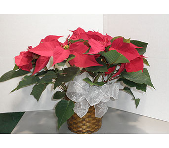 Red Poinsettia in Oklahoma City OK, New Leaf Floral Inc