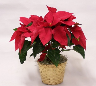 Holiday Special Poinsettia in Mesa AZ, Watson Flower Shops
