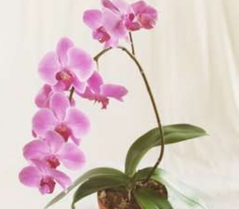orchid plant in Bismarck ND, Dutch Mill Florist, Inc.
