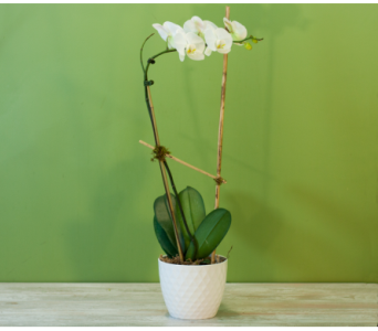 The White Merrick Orchid in Merrick NY, Feldis Florists
