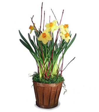 Potted Daffodils in Oshkosh WI, House of Flowers