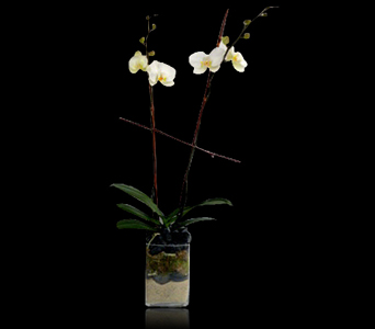 Phalaenopsis Orchid In Glass in Boston MA, Stapleton Floral