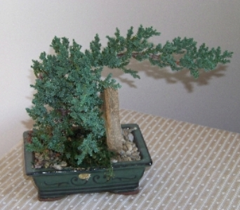 BONSAI TREE in Claremont NH, Colonial Florist