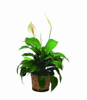 Small Peace Lily - FREE DELIVERY in Cohasset MA, ExoticFlowers.biz