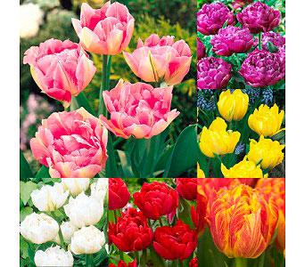 Double Headed Tulips $24.99-$64.99 in Bradenton FL, Ms. Scarlett's Flowers & Gifts