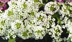 Alyssum - Snow Crystals in Waukegan IL, Larsen Florist