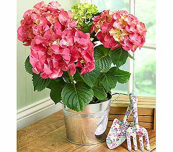 Marvelous Mom Hydrangea in Asheville NC, Kaylynne's Briar Patch Florist, LLC