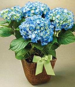 Hydrangea in Madisonville KY, Exotic Florist & Gifts