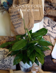 Peace Lily in Healdsburg CA, Uniquely Chic Floral & Home
