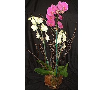 Double Orchid Plant in Dallas TX, Z's Florist