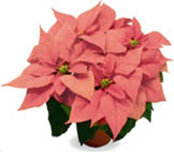 Pink Poinsettia in Chicago IL, Soukal Floral Co. & Greenhouses