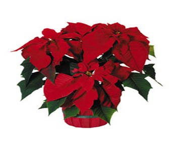 Red Poinsettia in Chicago IL, Soukal Floral Co. & Greenhouses