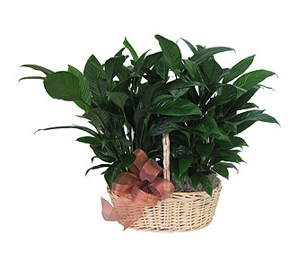 Simply Elegant Spathiphyllum - Deluxe	 in Grand Rapids MI, Kennedy's Flower Shop