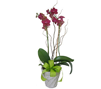 Phalaenopsis Orchid Plant in Grand Rapids MI, Kennedy's Flower Shop