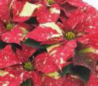 Red Glitter Poinsettia in Waukegan IL, Larsen Florist