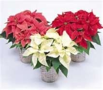 NICEST Poinsettia in Bismarck ND, Dutch Mill Florist, Inc.