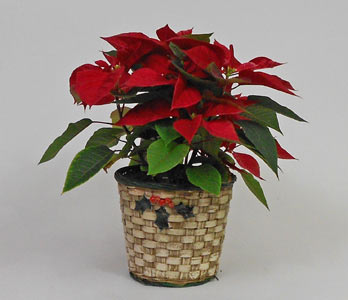 Poinsettia in a basket in Royersford PA, Three Peas In A Pod Florist