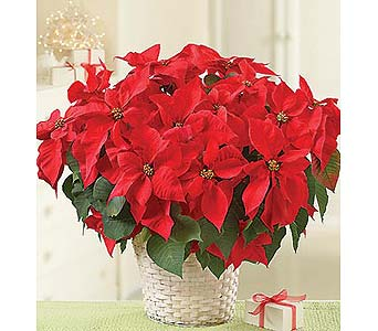 8 inch Poinsettia Plant in Palm Desert CA, Milan's Flowers & Gifts
