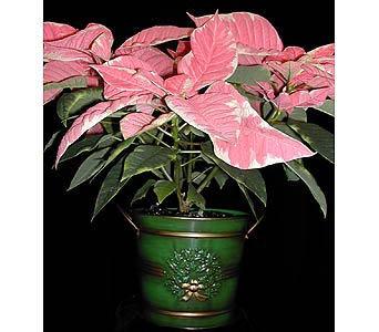 6 pointsettia plan in Kent OH, Richards Flower Shop