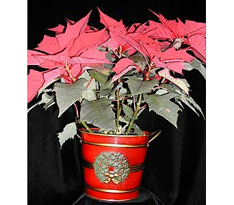 6 poinsettia plant in Kent OH, Richards Flower Shop