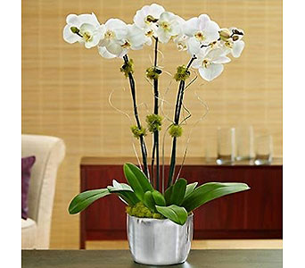 White Celebration Orchids in Bradenton FL, Ms. Scarlett's Flowers & Gifts