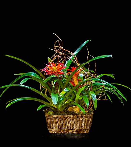 Double Bromeliad Basket in Houston TX, The Empty Vase of Houston