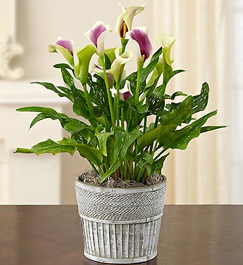 Calla Lily  in Mooresville NC, All Occasions Florist & Boutique