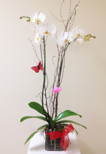Butterfly Orchid in Naples FL, Gene's 5th Ave Florist