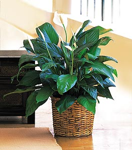 Medium Spathiphyllum Plant in Campbell CA, Citti's Florists