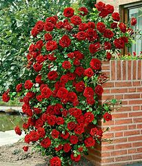 Rose Bush - Lady in Red (Climbing) in Waukegan IL, Larsen Florist