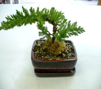 Bonsai Tree in Fond Du Lac WI, Haentze Floral Co