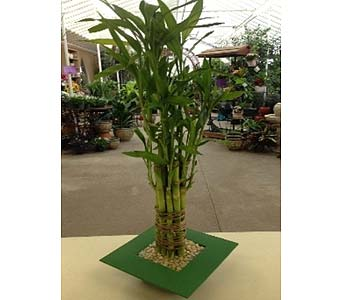 Lucky Bamboo in Fond Du Lac WI, Haentze Floral Co