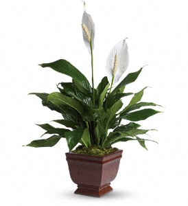 Teleflora's Lovely One Spathiphyllum Plant in Mason City IA, Baker Floral Shop & Greenhouse