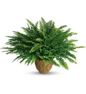 Teleflora's Heartwarming Thoughts Boston Fern in Reno NV, Bumblebee Blooms Flower Boutique