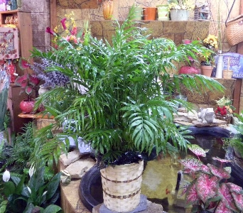 Neanthe Bella Palm in Camden AR, Camden Flower Shop